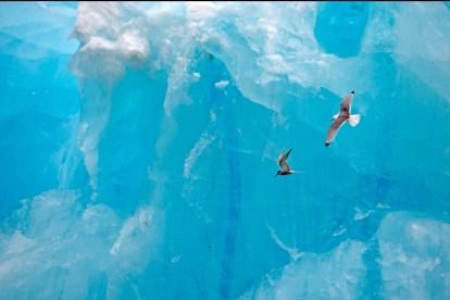 Küstenseeschwalbe und Rissa im Flug