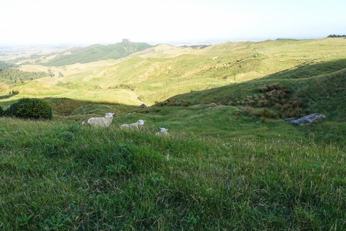 Schafsweide