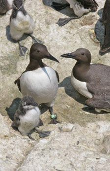 Guillemots on the island