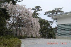 """weeping cherry or """"shidare zakura"""" 枝垂れ桜"""