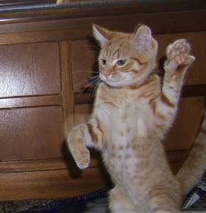 kitten standing with paws up
