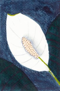 Peace Lily. 4 x 6 watercolor on 140 lb. cold press paper. © Sheila Delgado 2013. RAG Memory:International mail Art Exhibition and Swap.