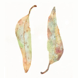 Eucalyptus Leaf, front and back. Watercolor on 140 lb. cold press paper. © 2013 Sheila Delgado