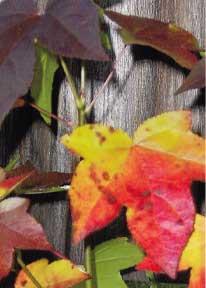 Sweet gum leaves. Teresa Harrington Hazelbaker.