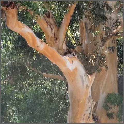 Victoria Street tree portrait. Riverside CA. © 2016 Sheila Delgado