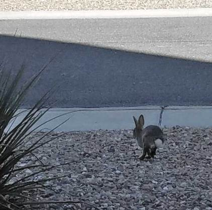 Rabbit on the run.