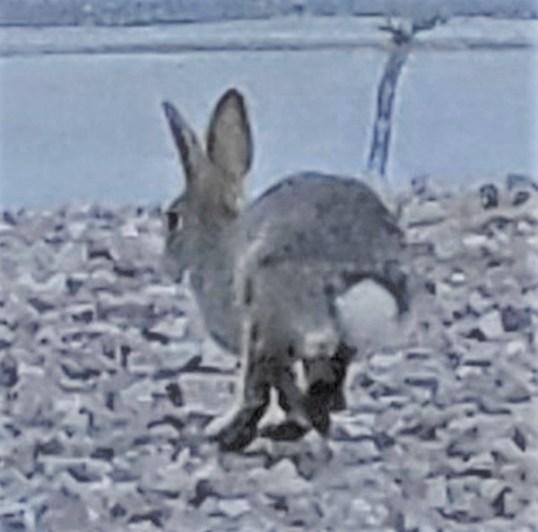 Bunny on the run. SMD