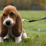 16 Things Only Basset Hound Owners Understand Sheknows