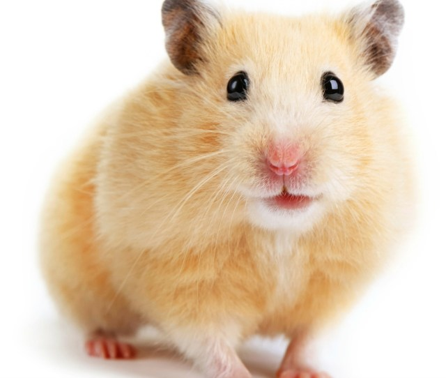 Hamster Facts That Will Change The Way You Look At Your Adorable Pet Sheknows
