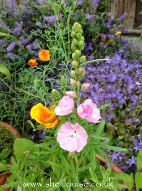 Sidalcea flowers