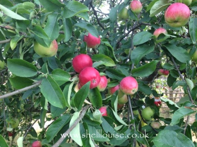 apples on our tree