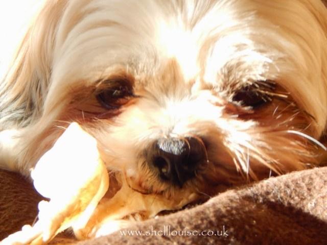 Chi-Chi nanny's dog