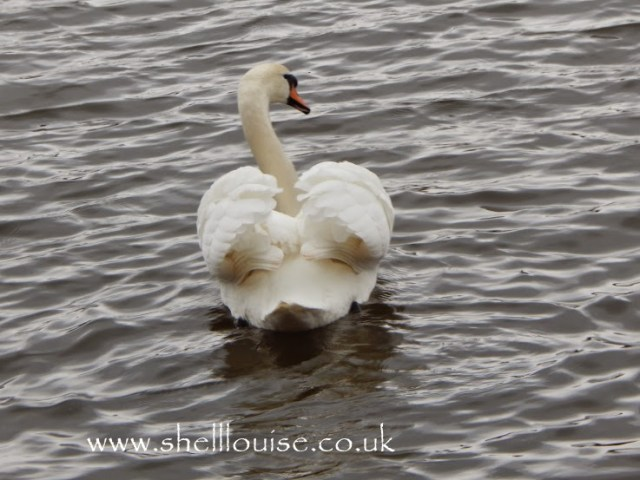 A swan at Rufford Abbey