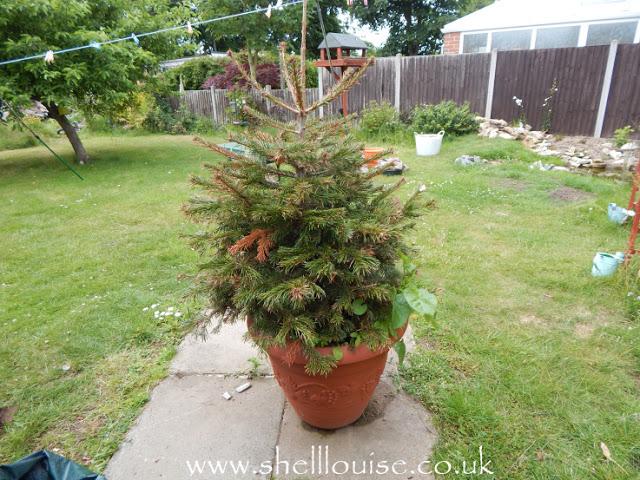 Dying Christmas tree