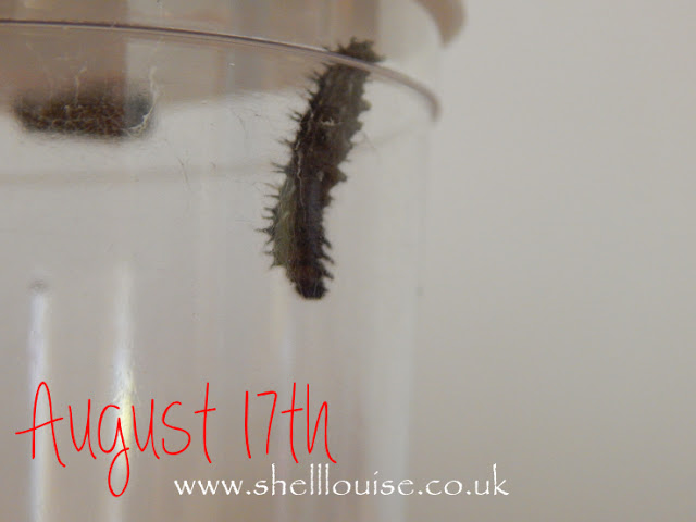 Caterpillars on August 17th