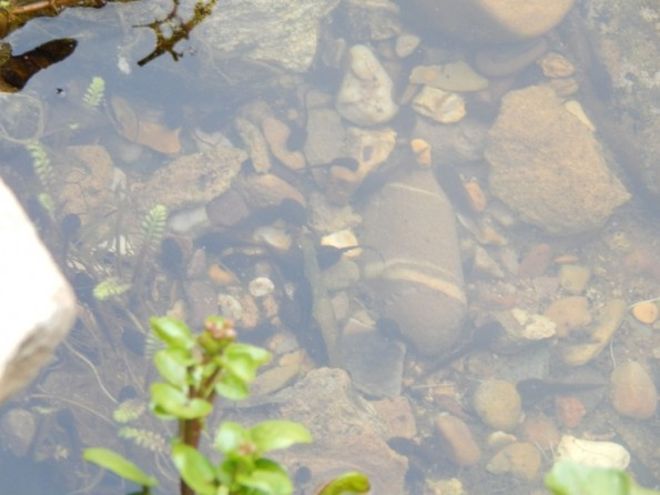 tadpoles in the pond - Pond Dipping