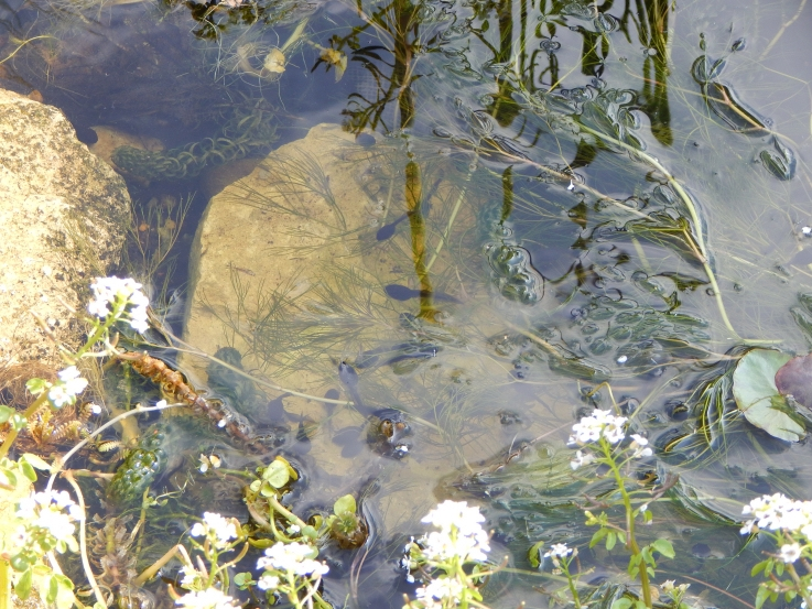 Tadpoles in pond