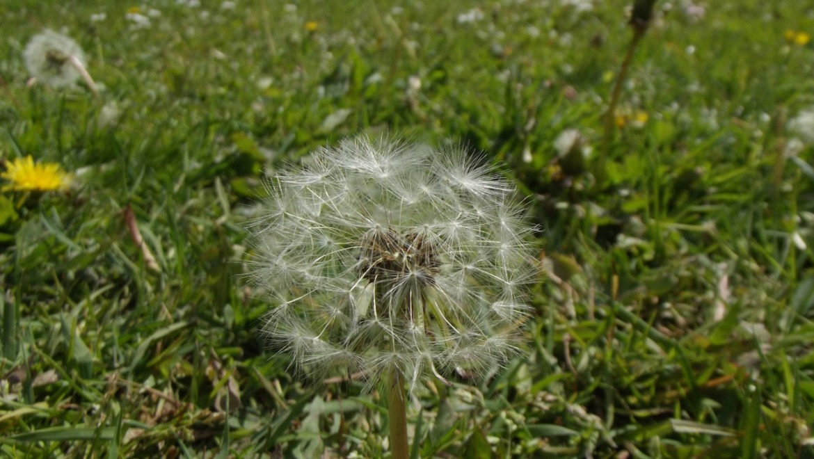 Dandelion head Whisby Nature Park