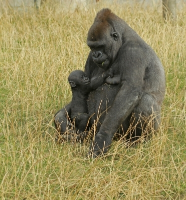 gorilla feeding baby - favourite animal