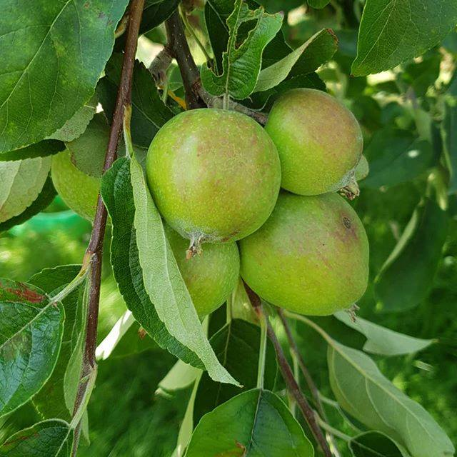 1 day 12 pics number 3 - apples on the tree