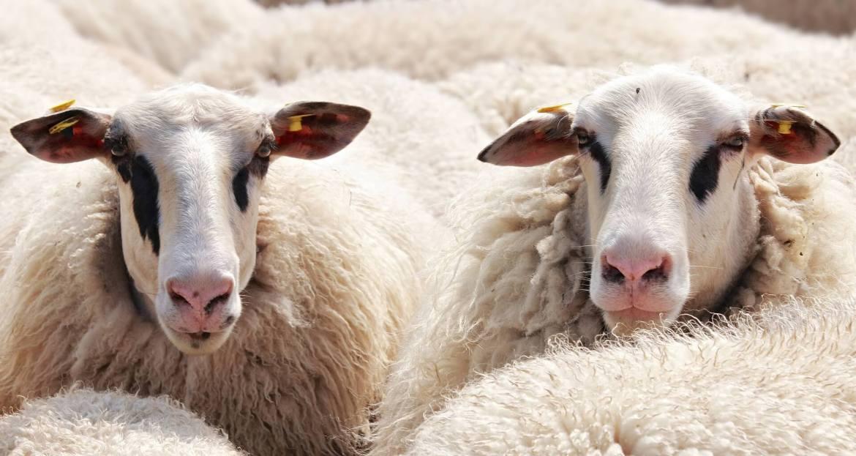 sheep - wool insulation