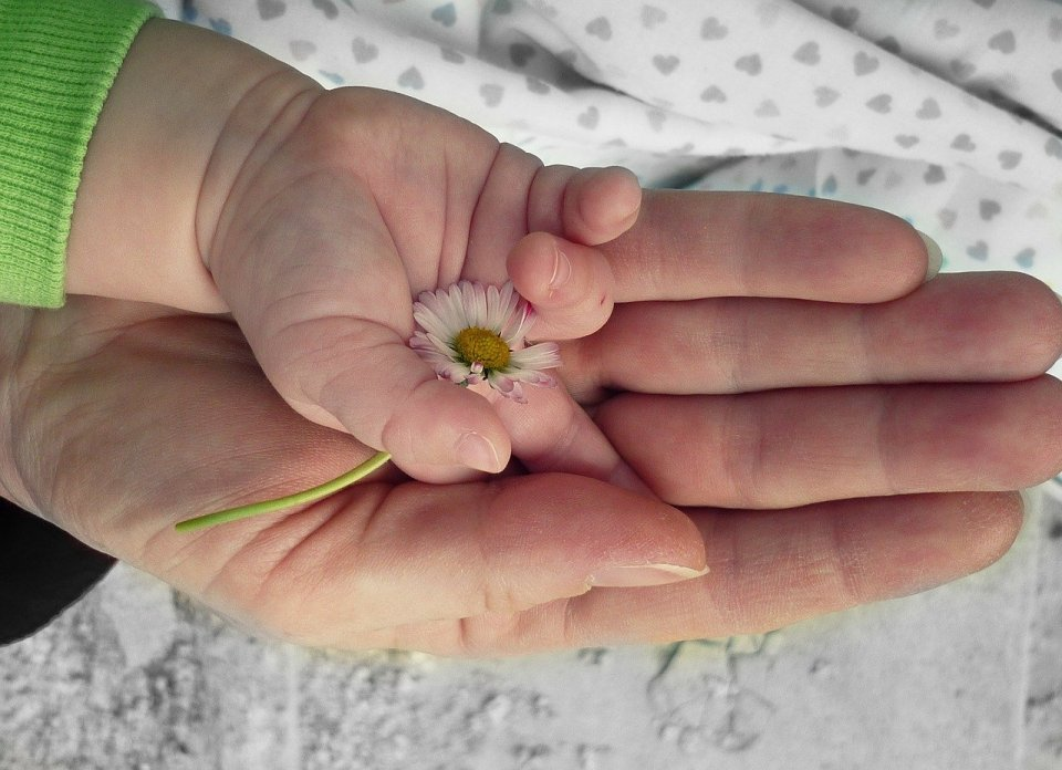 child's hand holding a daisy, inside an adult's hand
