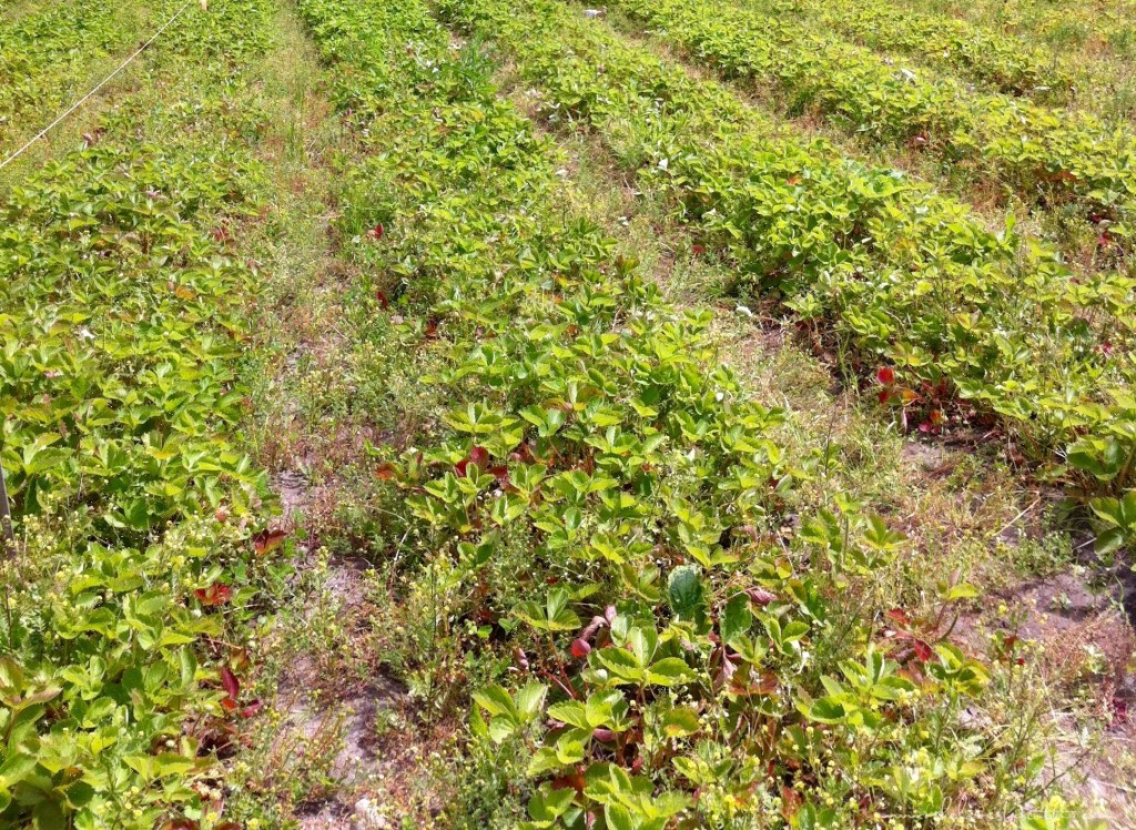 Rows and rows of a strawberry field.