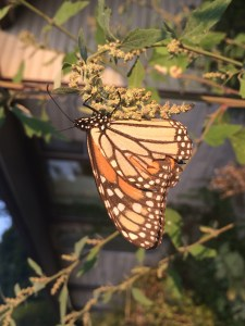 emergent monarch