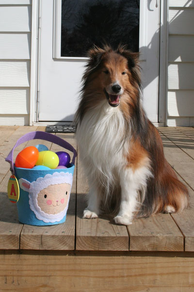 The SheltieChick Blog - a chick and her three shelties