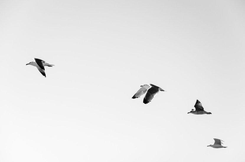 black-white-birds-flying-minimal
