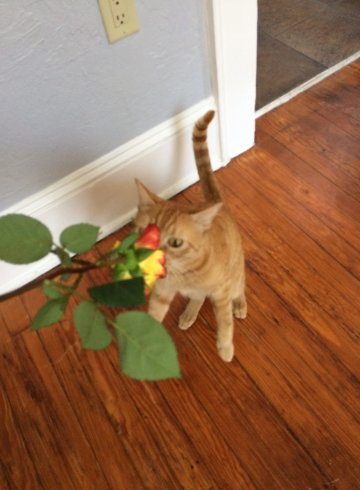 orange-cat-smelling-rose