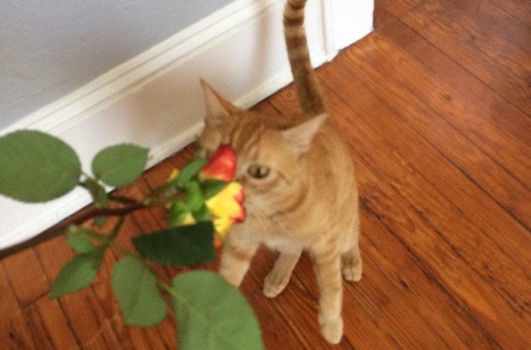 orange-cat-smelling-rose