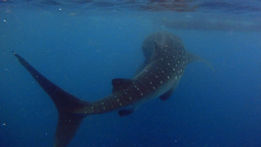 whale shark in cancun mexico