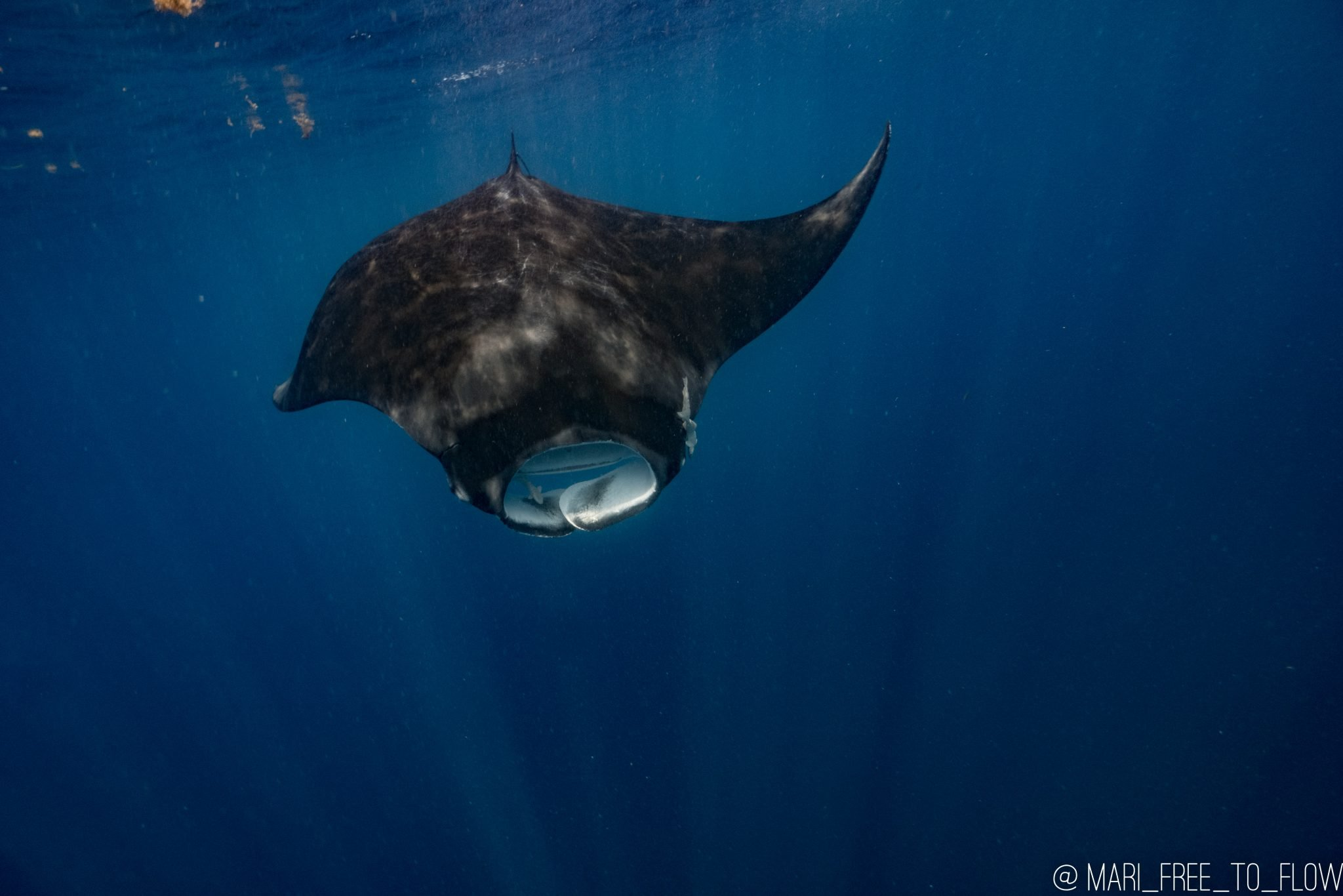manta ray on whale shark tour in cancun