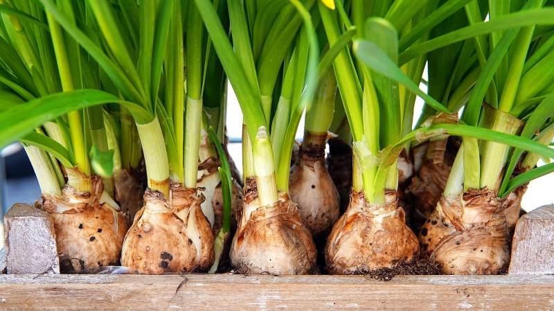 Flower-bulbs Sherington