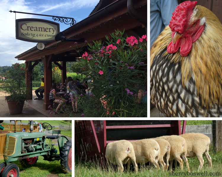 10 Things to Do in Asheville | Biltmore estate activities include the farm at Antler Creek Village with chickens, lambs, and other animals