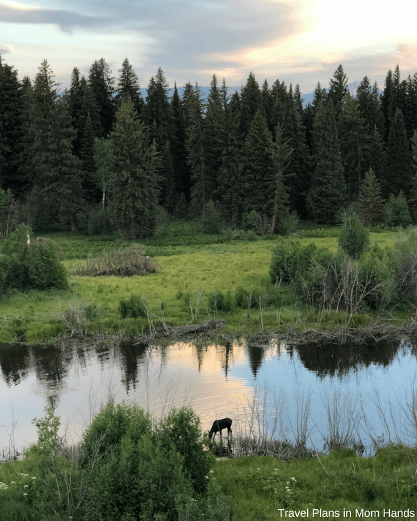 BrushBuck wildlife tour in the Grand Teton National Park in Jackson Hole makes for one great family adventure, especially when we spotted this moose.