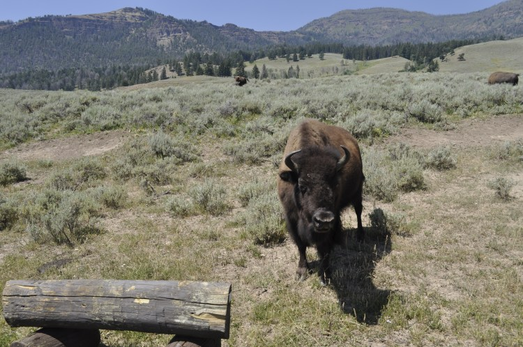 Bison aren't intimidated by cars on the roads and get as close as they like in Yellowstone.