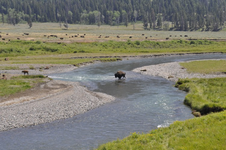 Bison crossings are pretty much expected during summertime at Yellowstone, so have camera at the ready!