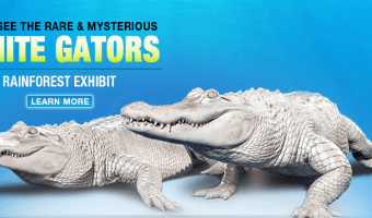Rare White Alligators to Return to Newport Aquarium