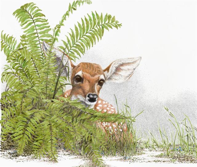 A Peek at Innocence   Fawn Deer
