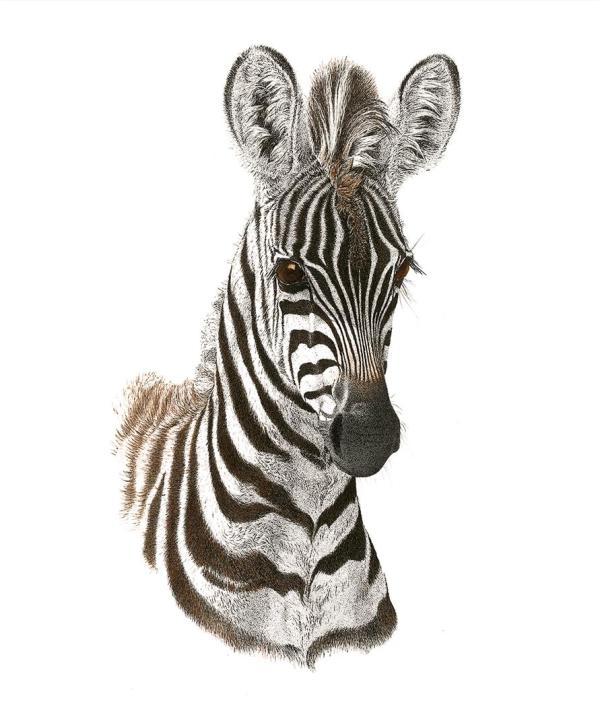 Sherry Steele Artwork - Wide eyed wonder | Zebra
