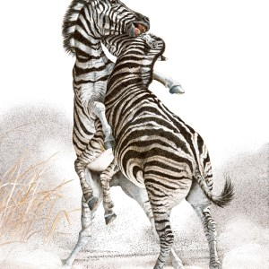 Striped Fury - Zebras, African Animals - Sherry Steele Artwork