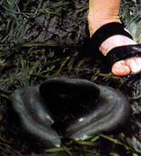 Photo of a moonsnail eggcase.jpg with a person's foot to show the relative size