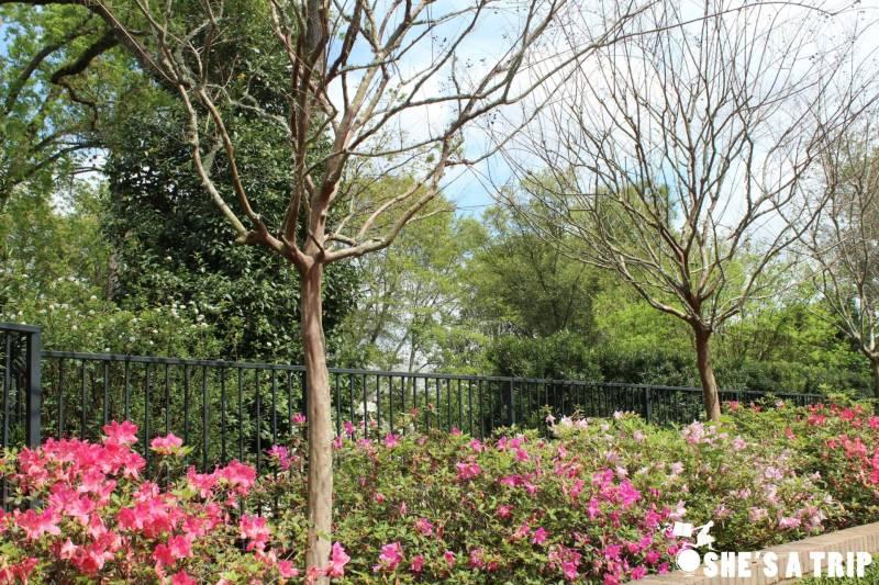 Azalea Trail Flowers Azalea Trail Display Azalea Trail Houston River Oaks Garden Club