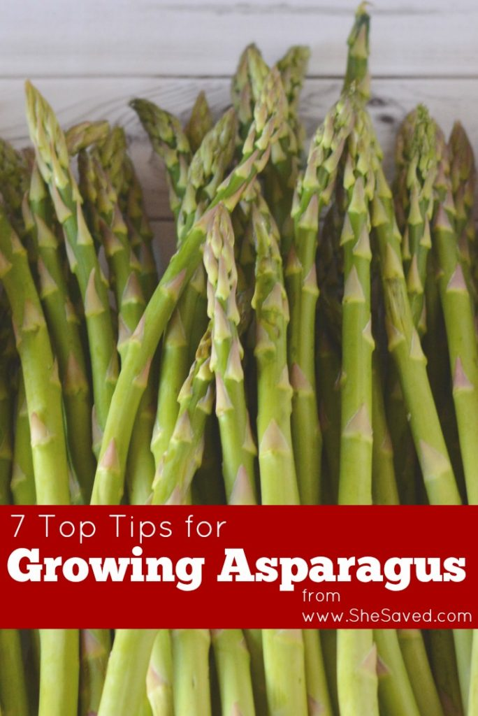 We LOVE Asparagus with meals and today I am sharing 7 top tips for growing asparagus!