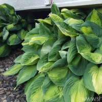 7 Tips for Growing Hosta Plants