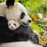Disneynature's BORN IN CHINA Available on Blu-Ray NOW! (+Giveaway!)