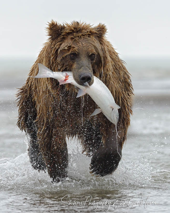 Grizzly Bear Running With Salmon In Mouth Shetzers