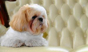 How To Adopt A Shih Tzu